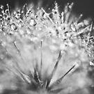Dewdrop on Dandelion Black and White  by BobbiFox