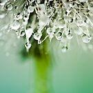 Dewdrop on Dandelion - 3 by BobbiFox