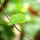 Solitary leaf. by Shiju Sugunan
