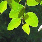 Leaves by Shiju Sugunan