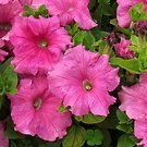 Pink Petunia flowers by Shiju Sugunan