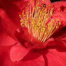 Camellia Surprise by DEB CAMERON
