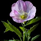Mexican Evening Primrose by Endre