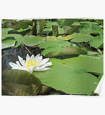Green Lillies Poster