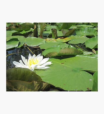Green Lillies Photographic Print