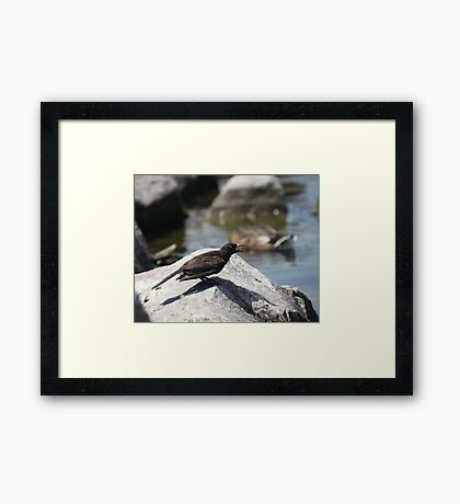 Posing Shore Bird Framed Print