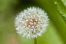 Plant, Dandelion, Taraxacum officinale, seed head by Hugh McKean