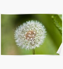 Plant, Dandelion, Taraxacum officinale, seed head Poster
