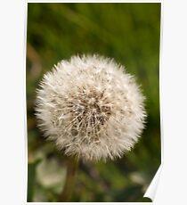 Plant, Wild flower, Dandelion, Taraxacum officinale, Seed head Poster