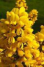 Plant, Gorse,Flowers, Yellow by Hugh McKean