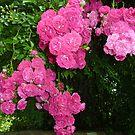Rambling Roses by Fara