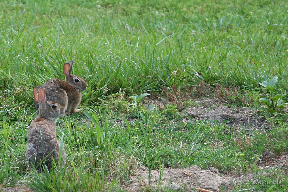 Bunny Love 1 by WalnutHill