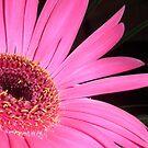 Gerbera daisy by karenkirkham