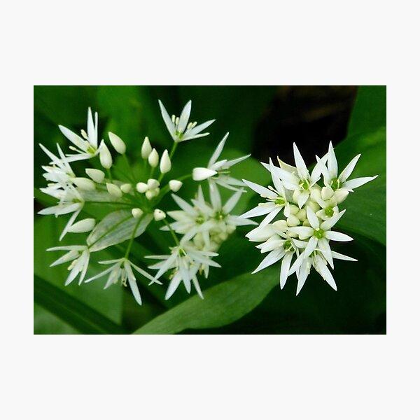 Wild Garlic White Flowers Photo Photographic Print