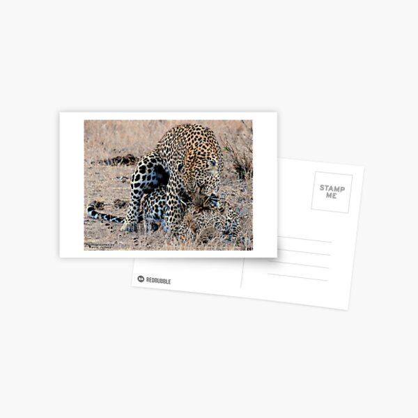 Leopards Mating Postcard