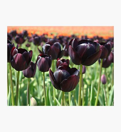 Tulip Festival art print Deep Purple Tulips Meadow Baslee Photographic Print