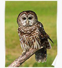 Ruffled Owl Poster