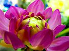 Dahlia In Bloom  by Marcia Rubin