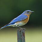 Eastern Bluebird on fence post by Wayne Wood