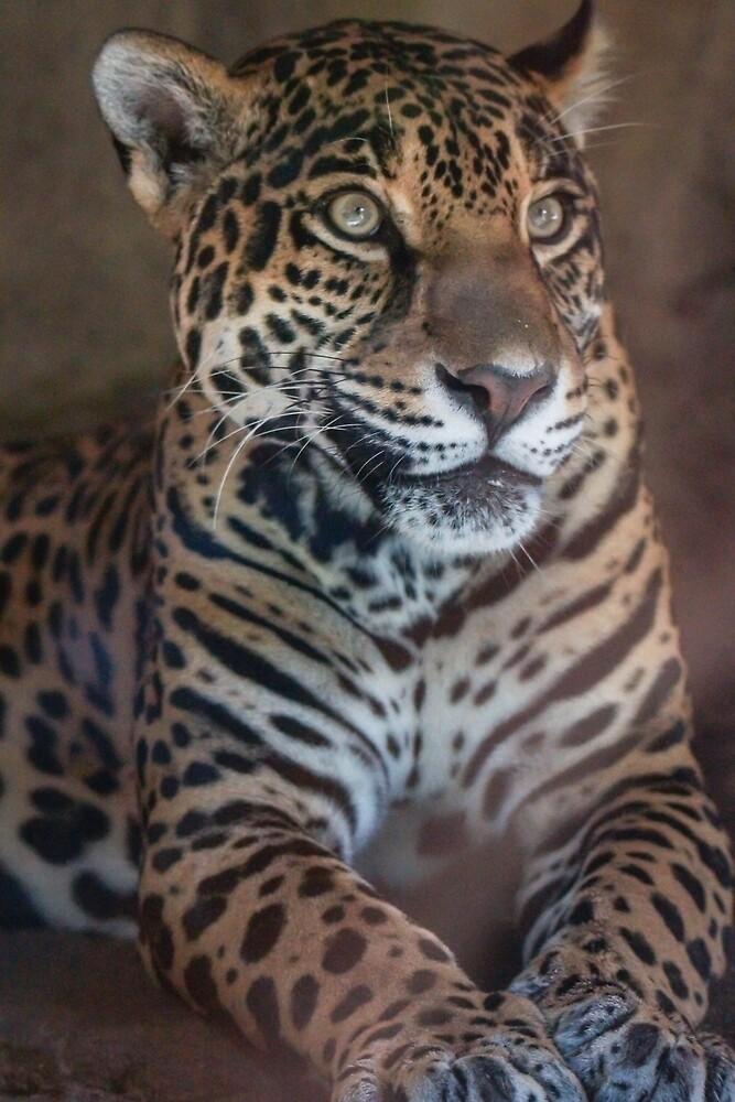 Jaguar Portrait by Ian Phares