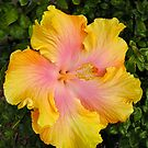 Sunset Hibiscus by Penny Smith