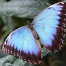 Blue Morpho by Astrid Ewing Photography