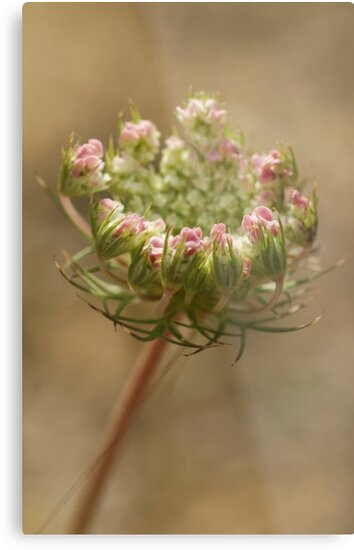 Wild Carrot by marens