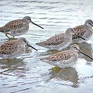 Long-billed Dowitchers by Tracy Riddell