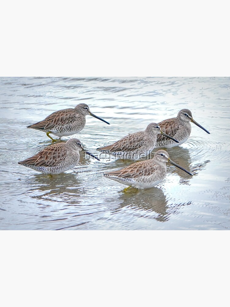 Long-billed Dowitchers by taos