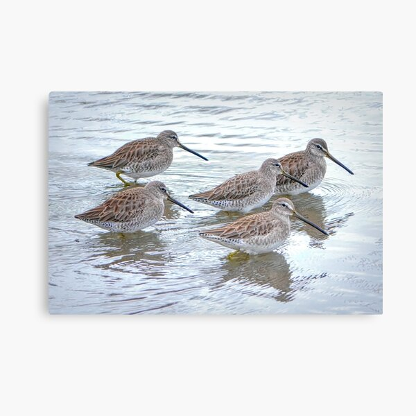 Long-billed Dowitchers Canvas Print
