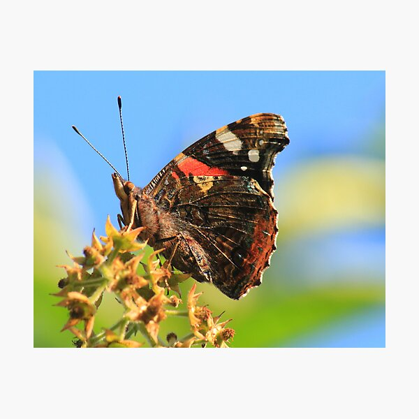 Red Admiral Butterfly, Nunnery Lane,Darlington,England Photographic Print