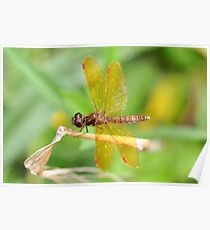 Male Eastern Amberwing Poster