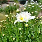 Daisy Field by jewelsofawe