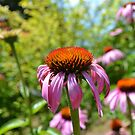 Echinacea Flowers in Summer by jewelsofawe