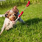 Sausage chasing Spinone by heidiannemorris