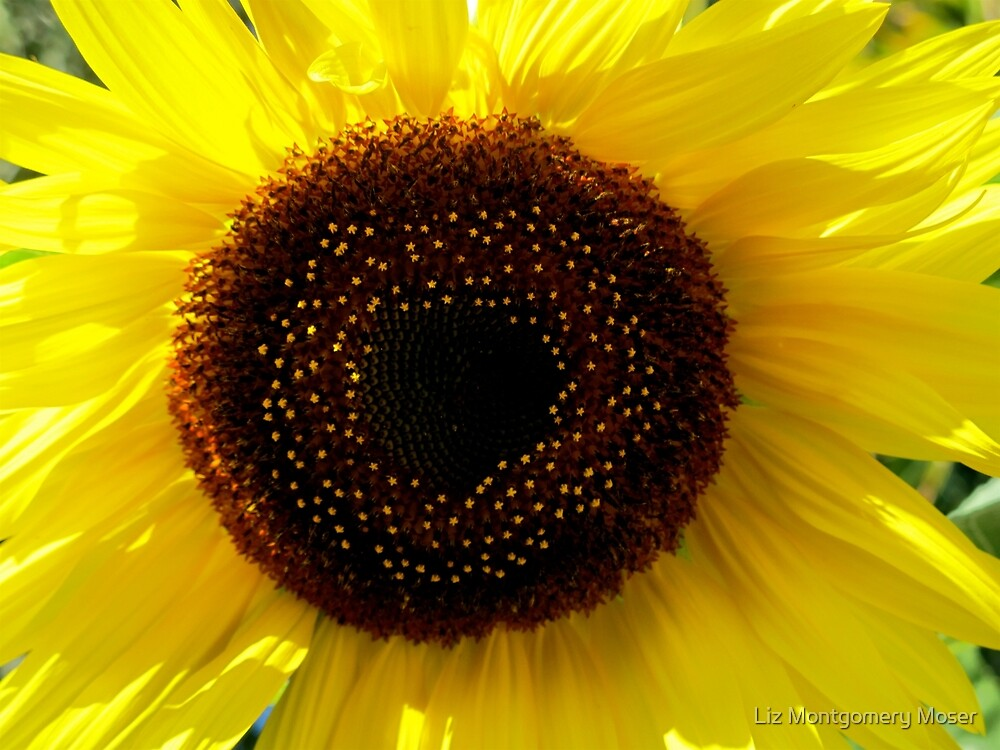 Stars in the Sunflower by Liz Montgomery Moser