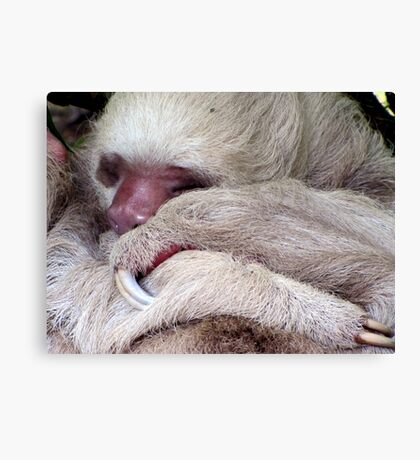 Two Toed Sloth Canvas Print