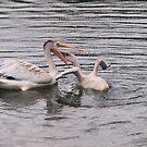 feeding pelicans by Cheryl Dunning