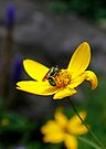 Green Bee on a Yellow Daisy by Debbie Pinard