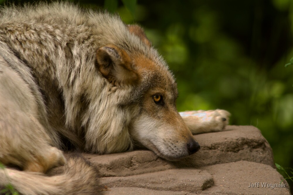 Afternoon Siesta - Mexican Gray Wolf by Jeff Weymier