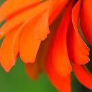 Orange Velvet Edge  by Allison  Flores