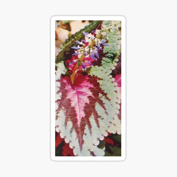 coleus hybride. Sticker