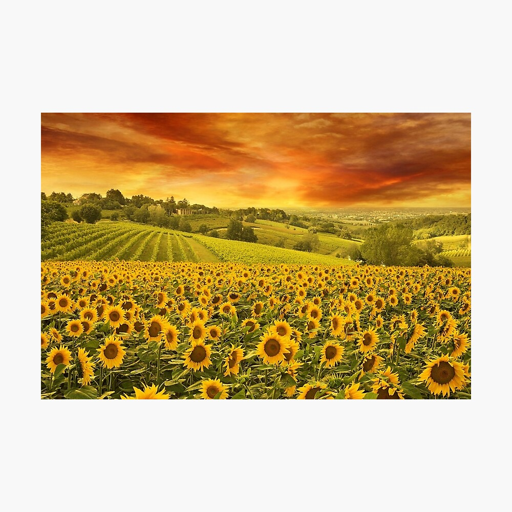 Red Sunset Over Sunflowers And Sunflower Fields Of Tuscany Italy Poster By Jferro67 Redbubble