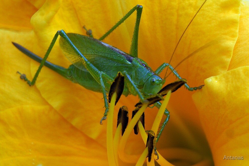 Green grasshopper inside in yellow lily by Antanas