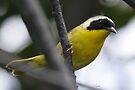 Yellowthroat by Dennis Cheeseman