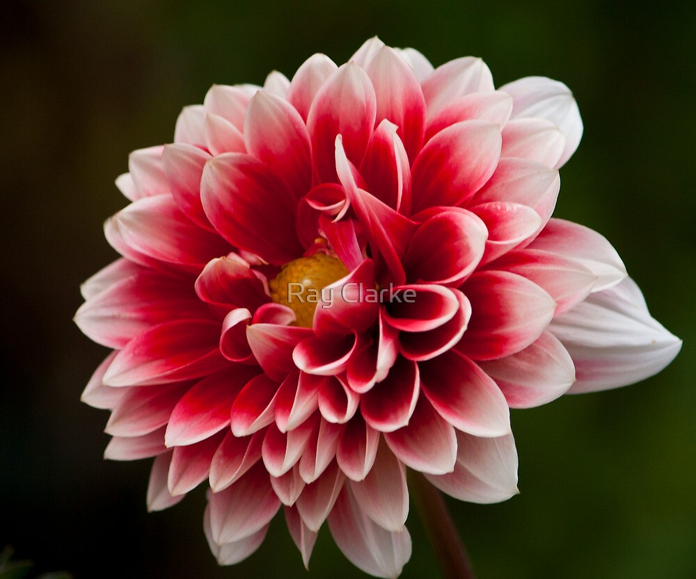 Red and White by Ray Clarke