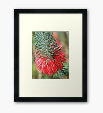 RED BOTTLE BRUSH Framed Print