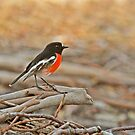 Foraging Scarlet Robin by Robert Abraham