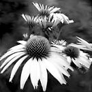 Monotone Cone Flowers with Smear!! by glennc70000