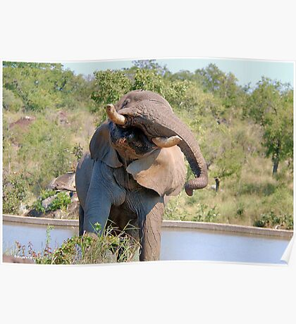 NOT WOW! The African Elephant behaviour when in musk Poster